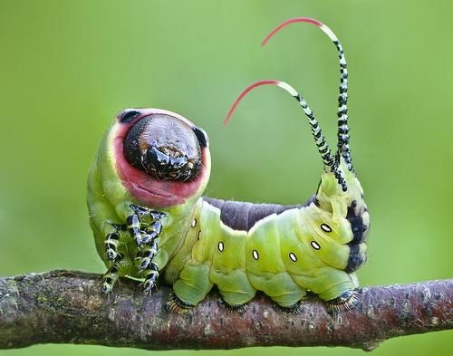 Moth Caterpillar by Lukjonis