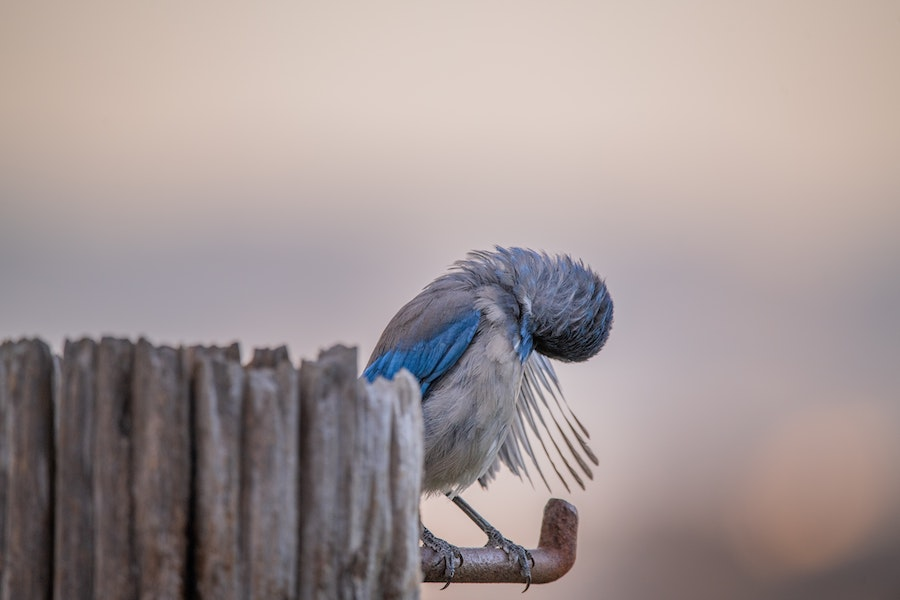 Blue Gray Bird