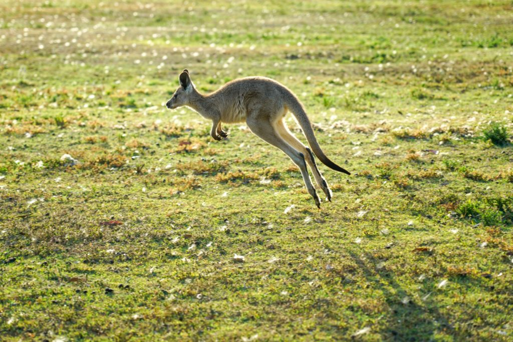 kangaroo jumping during daytime